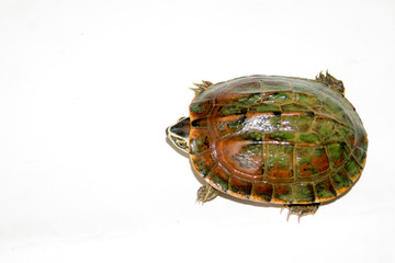Fresh water turtle on white background.