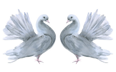 Two dove. Isolated on white background.