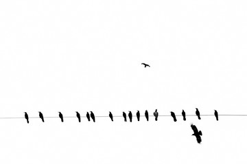 crows on an electric wire, black and white