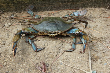 Chesapeake Bay blue crab close up view