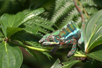 Chameleon auf Blatt