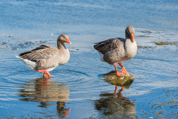 Two greylag gooses standing in the lake, colorful gooses