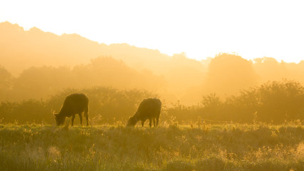 cows in a summers haze