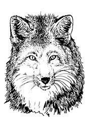 Deurstickers Hand getrokken schets van dieren Graphical portrait of fox, hand-painted illustration for printing,tattoo and coloring