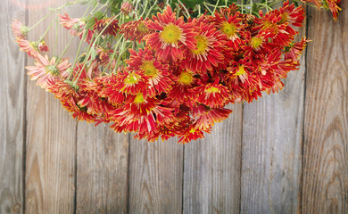chrysanthemum on wooden background