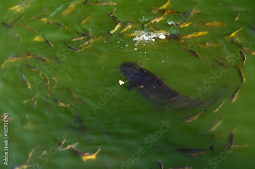 Fish catfish and ide live in ponds to cool the Chernobyl