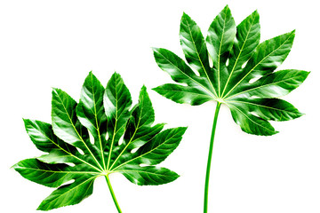 big jungle leaves on white background top view