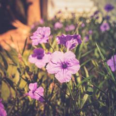 Purple flower of Minnieroot or popping pod, Ruellia tuberosa, Cracker plant