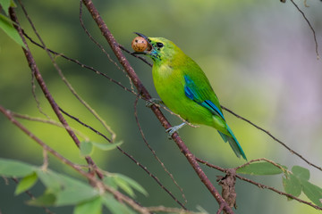 Blue-winged Leafbird eating fruit at Krungshing national park in Thailand.
