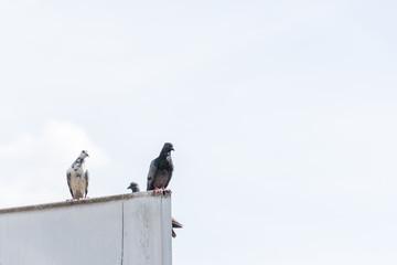 pigeon stand on old billboard