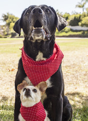 Chihuahua and lab portrait