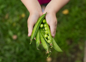 green peas in little hands
