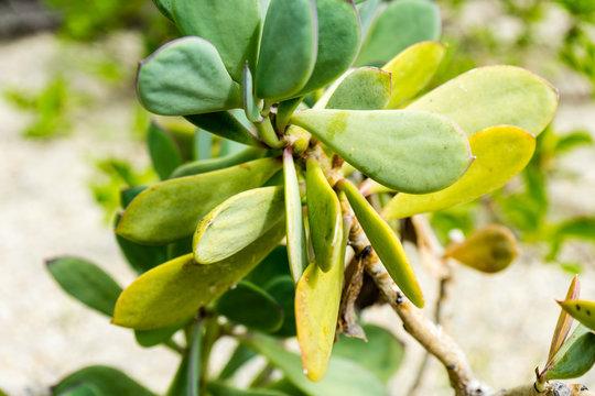 Senecio crassissimus Asteraceae tsarasaotra ambositra plant leaf close up