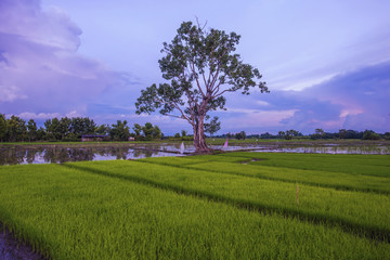landscape of young rice farmers