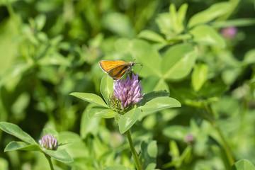 Butterfly Carterocephalus sitting on a flower clover.