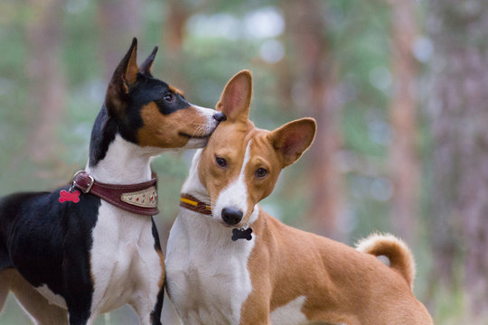 Basenji whispers something in the ear of his girlfriend in the forest