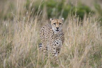 Gepard streift durch die Savanne