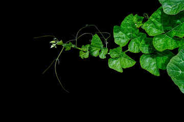 Pumpkin green leaves with hairy vine plant stem and tendrils on black background.