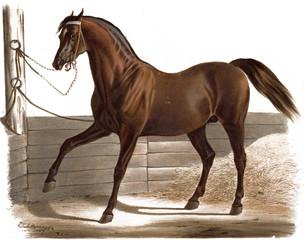 Illustration of thoroughbred horses.