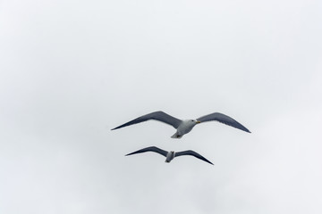Flying gull on a background of white-grey sky.