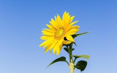 ståtlig gul solros mot blå himmel