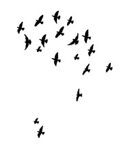 Vector, isolated silhouette of flying birds