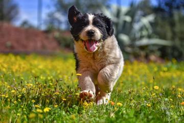 landseer puppy dog