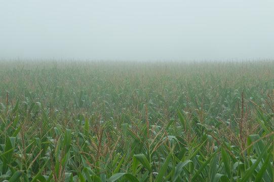 Corn field in a foggy day