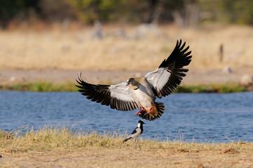 Nilgans im Landeanflug, Etosha Nationalpark, Namibia, (Alopochen aegyptiacus)