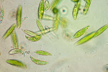 Search photos euglena euglena is a genus of single celled flagellate eukaryotes under microscopic view for education ccuart Images