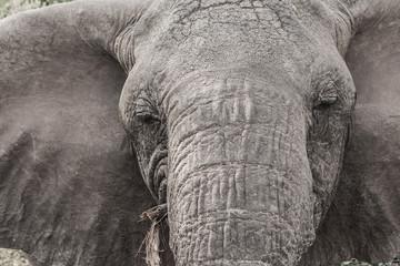 Elefant Close Up