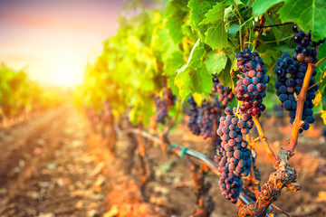 Bunches of grapes in the rows of vineyard at sunset