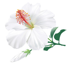 Hibiscus hand drawn vector illustration of a large white tropical see more mightylinksfo