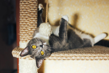 Funny gray cat sitting and playing on the scratching post head over heels Wall mural
