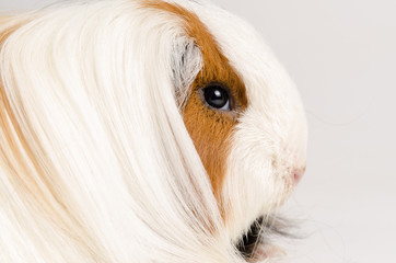 Guinea pig long hair
