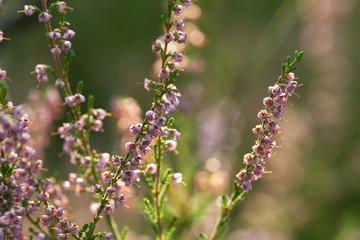 Sunlit heather flowers
