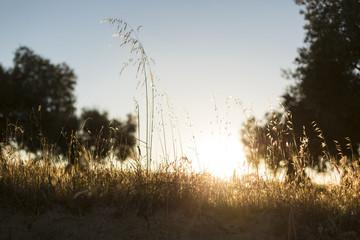 yellow wheat field at sunset. summer