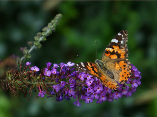 Painted Lady (Vanessa cardui)  feeding on Butterfly Bush (Buddleia davidii), New York USA