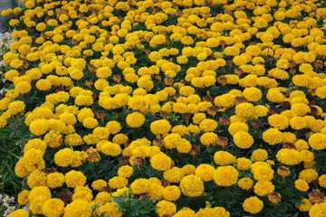Flower field yellow