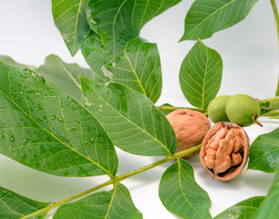 The shelled Walnuts on a green branch