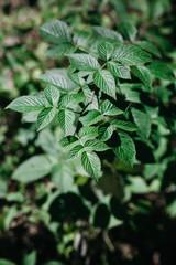 Wild raspberry plant