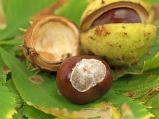 Kastanien, Aesculus, Herbst