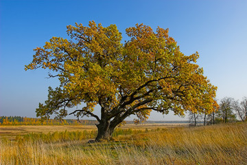 Autumn tree. Large oak. Tree with yellow leaves.