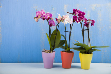 Three orchids in pots