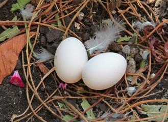 pigeon's  eggs in nest