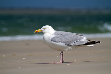 European herring gull standing on the beach
