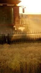 Evening Harvest 1454