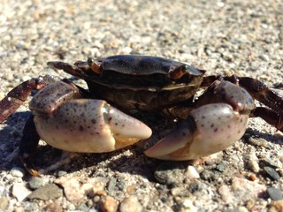 Asian Shore Crab, Rhode Island, 2013