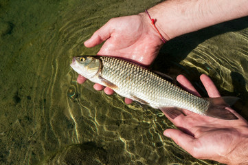 Fishing catch and release of a European Chub (Squalius cephalus) held in angler's hands before release