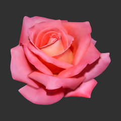 Realistic rose on dark background.